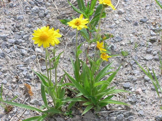 Picture of Arnica alpina