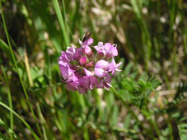 Picture of Astragalus agrestis