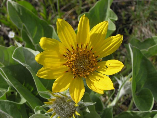 Picture of Balsamorhiza sagittata