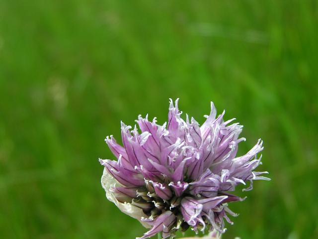 Picture of Allium schoenoprasum