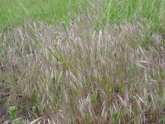 Picture of Bromus anomalus