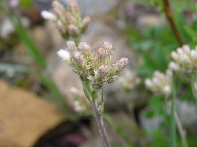 Picture of Antenaria neglecta