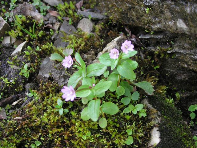 Picture of Epilobium anagallidifolium