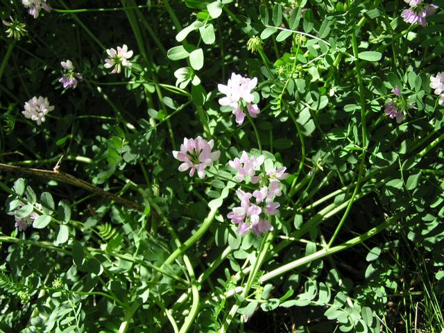 Picture of Astragalus striatus