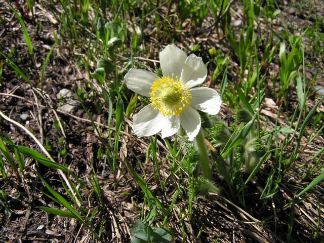 Picture of Anemone occidentalis