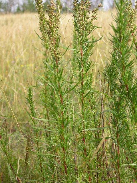 Picture of Artemisia campestris