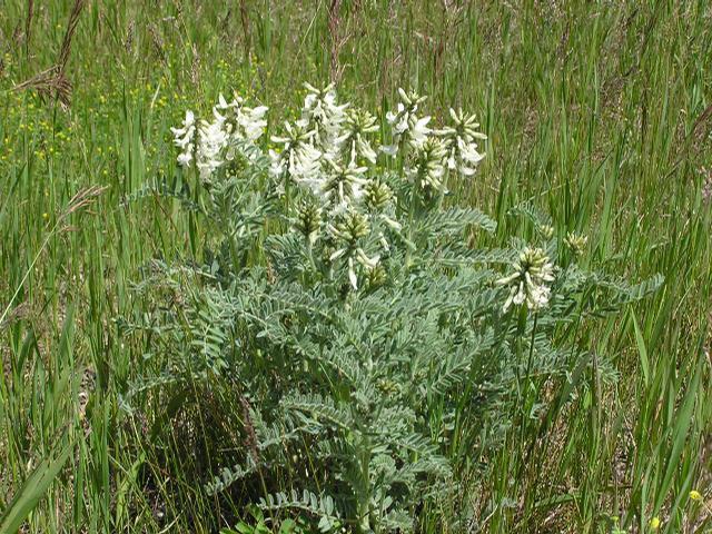 Picture of Astragalus drummondii