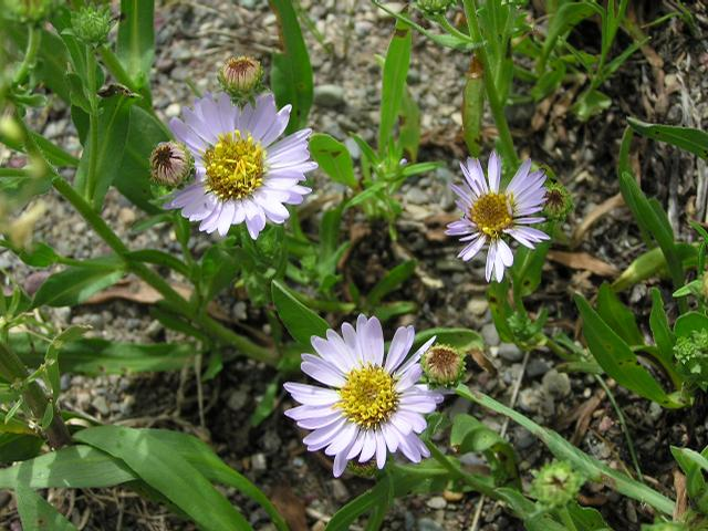 Picture of Aster campestris