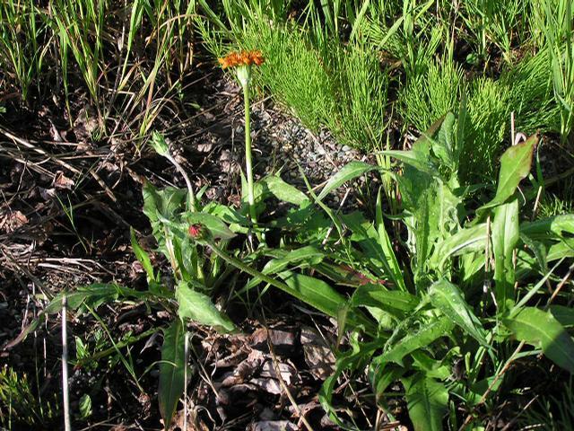 Picture of Agoseris aurantiaca