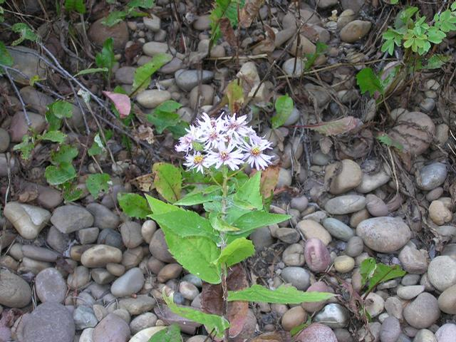 Picture of Aster conspicuus