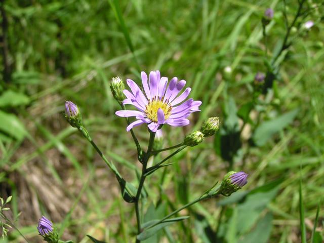 Picture of Aster laevis