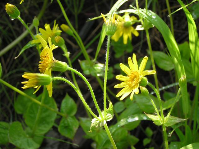 Picture of Arnica sororia