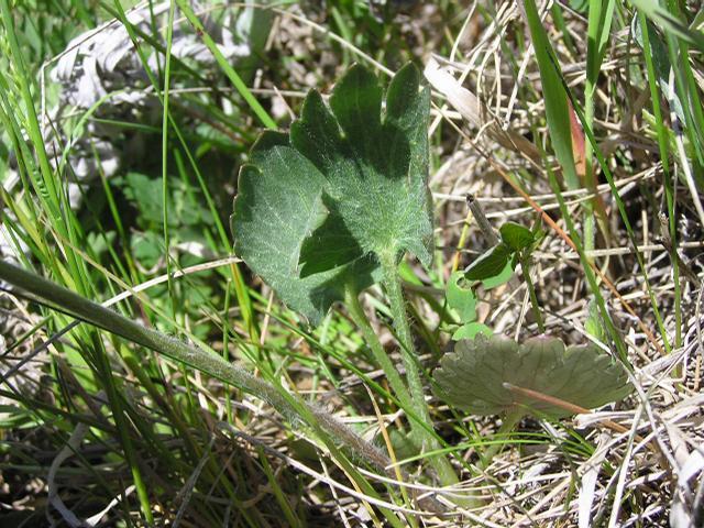 Picture of Ranunculus pedatifidus
