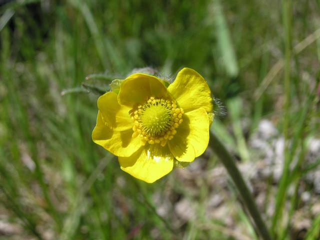 Picture of Ranunculus pedatifidus