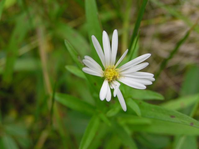 Picture of Aster eatonii