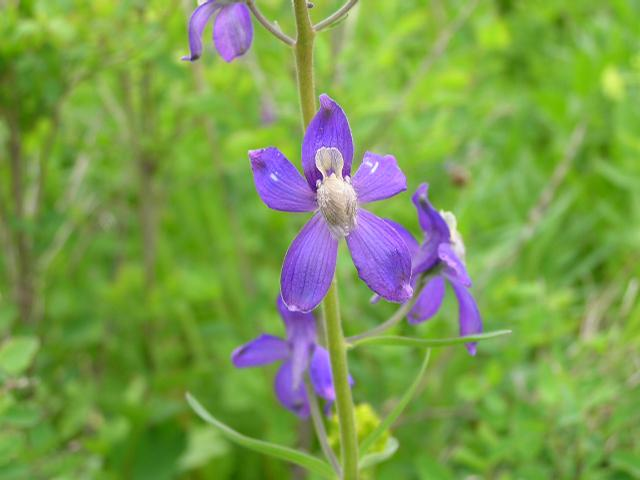 Picture of Delphinium nuttallianum