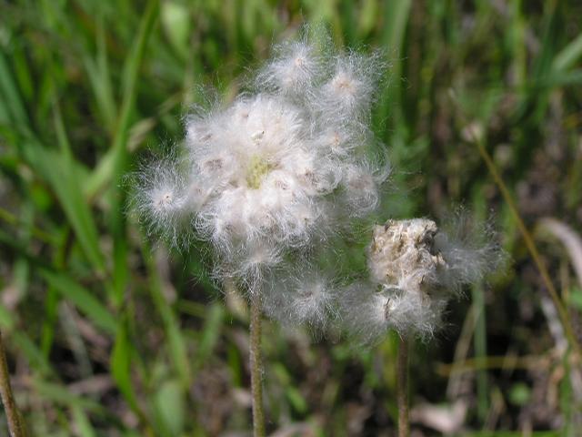 Picture of Anemone multifida