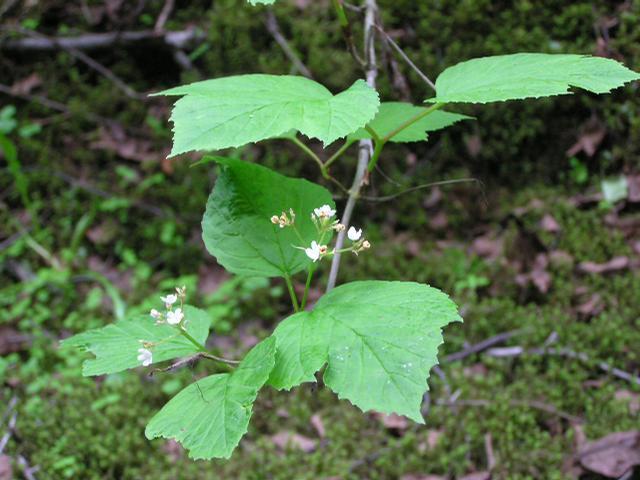 Picture of Acer circinatum