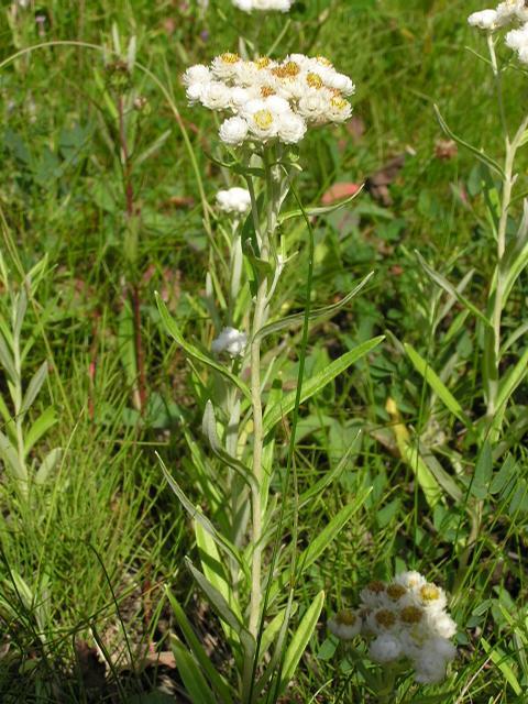 Picture of Anaphalis margaritacea