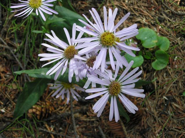 Picture of Aster foliaceus