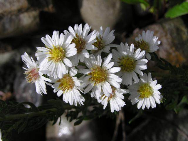 Picture of Aster pansus