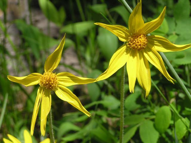 Picture of Arnica latifolia