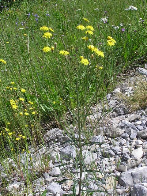 Picture of Hieracium gracile