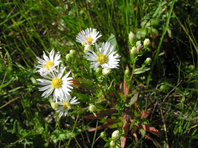 Picture of Aster hesperius