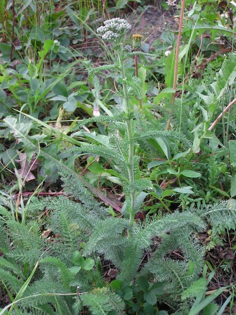 Picture of Achillea millefolium ssp. alpicola