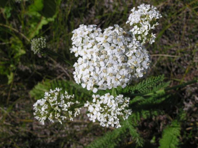 Picture of Achillea millefolium ssp. lanulosa