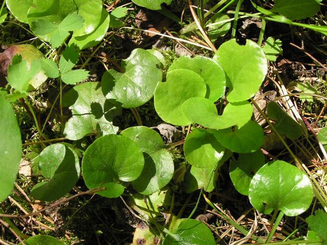 Picture of Asarum caudatum