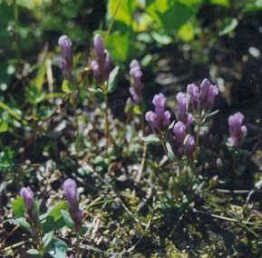 Picture of Gentiana propinqua