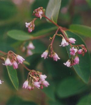 Picture of Apocynum androsaemifolium