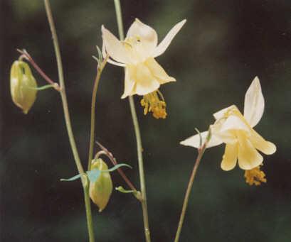 Picture of Aquilegia flavescens
