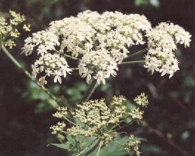 Picture of Heracleum lanatum