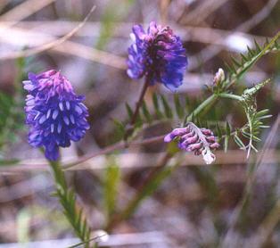 Picture of Astragalus adsurgens