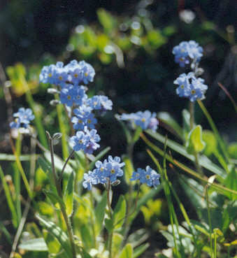 Picture of Myosotis alpestris