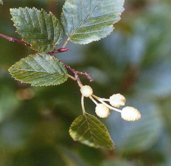 Picture of Alnus crispa ssp. sinuata