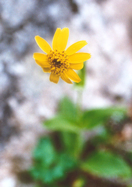 Picture of Arnica mollis