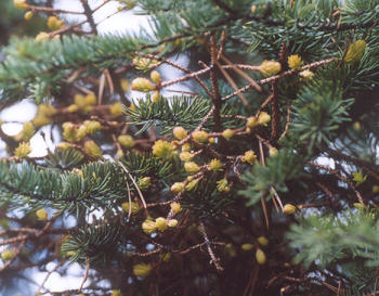 Picture of Arceuthobium campylopodum