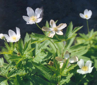 Picture of Anemone parviflora