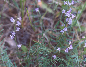 Picture of Astragalus miser