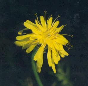 Picture of Agoseris glauca