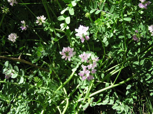 Picture of Astragalus striatus