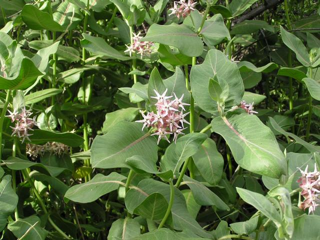 Picture of Asclepias speciosa