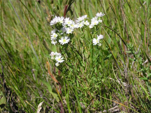 Picture of Aster ericoides ssp. pansus