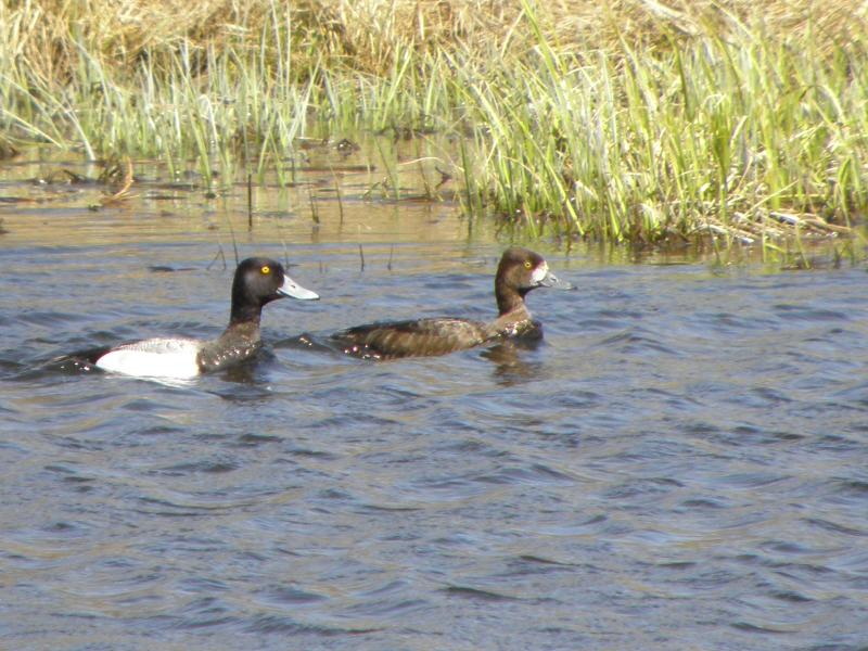 Picture of Lesser scaup
