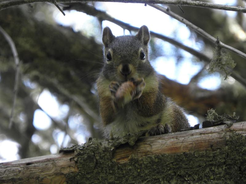 Picture of American red squirrel