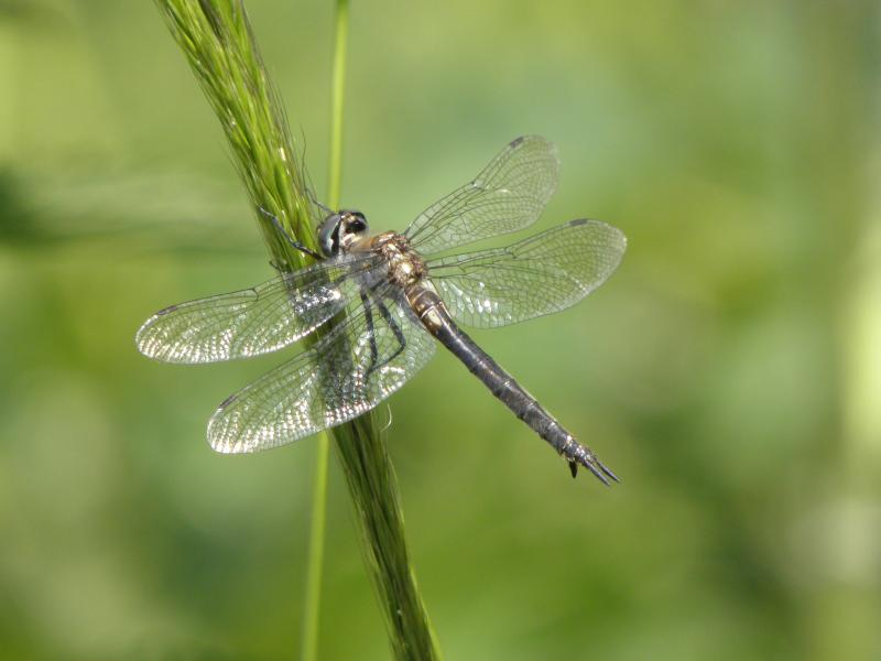 Picture of Black meadowhawk
