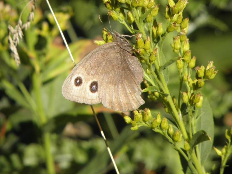 Picture of Common wood nymph